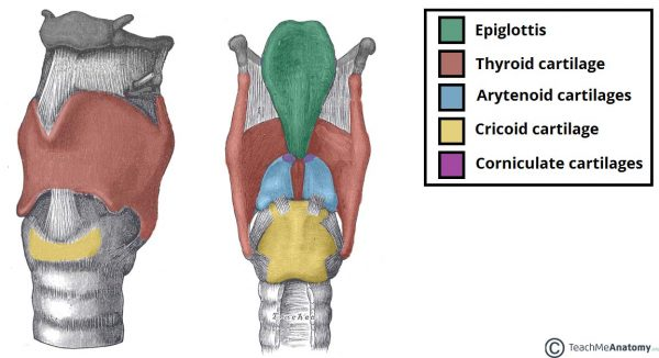 Major-Cartilages-of-the-Larynx-600x326.jpg